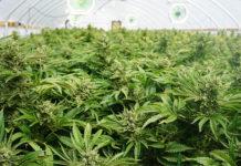 marijuana-use-workplace